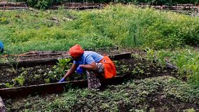 African American Working Her Plot in a Community Garden