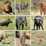 African animal collage Stock Photos