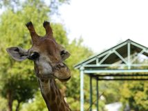 African animal - cute funny giraffe Royalty Free Stock Photography