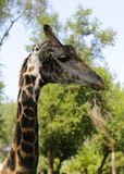 African animal - cute funny giraffe Stock Photos