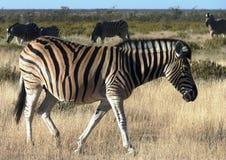 African Animal Safari Stock Photos