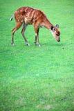 African Animal Sitatunga Tragelaphus spekii. Wilderness Stock Photography