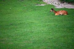 African Animal Sitatunga Tragelaphus spekii. Wilderness Royalty Free Stock Images