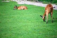 African Animal Sitatunga Tragelaphus spekii. Wilderness Royalty Free Stock Photo
