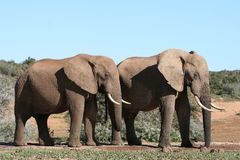 African animals. Two African male elephants at water hole stock photo