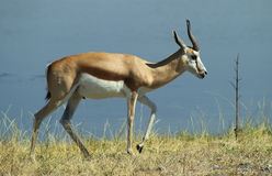 African Animals 2 Royalty Free Stock Photography
