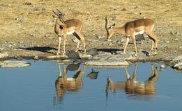 African Animals 5 Stock Photos