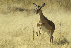 African Animals 6 Stock Photos