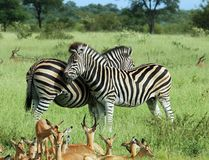 African Animals. Burchell's Zebras in the Kruger Park, Africa, with Impala Antelope in the foreground Stock Images