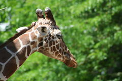 African Animals Royalty Free Stock Photography