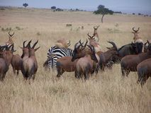 African animals. African antelopes and zebras Stock Photos