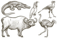 African animals and birds set. African animals set. Buffalo, Crocodile, Ostrich, Secretary bird, Cockatoo. Illustration Vector Art. Style Vintage engraving Royalty Free Stock Images