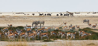 African animals close to a waterhole. African animals of different species close to a waterhole in Etosha National Park stock photos