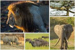 African animals collage. African Big Five animals collage, Buffalo, Elephant, Leopard, White Rhino and Lion in national parks and african reserves like Kruger stock images