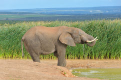African animals, elephant near waterhole Stock Photos