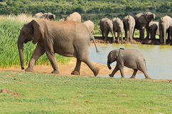 African animals, elephants drinking water. ADDO nature reserve, South Africa royalty free stock images