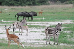 African Animals in a field. Wildebeast, zebra and impala gather outside a water hole in Botswana.  A young zebra is nursing Stock Photos