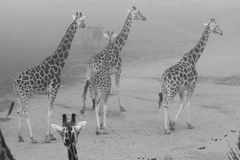 African animals in fog Royalty Free Stock Photo