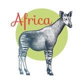 African animals Okapi. Royalty Free Stock Image