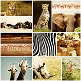 African Animals Safari Collage. African wild animals safari collage, large group of fauna diversity at African continent, natural themed collection background stock images