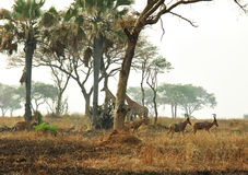 African animals savanna plains nature reserve park. A view of the wild native animals at the Murchison Falls National Reserve Park in Uganda, Africa taken while royalty free stock photo
