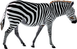 African Animals series Zebra. Zebra is a beautiful African plain common animals Stock Images