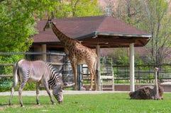 African animals. Three african animals: giraffe, ostrich and a zebra relaxingon a green field Stock Photos