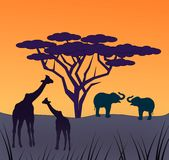 African Animals. Two giraffes and two Royalty Free Stock Image