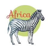 African animals zebra. Royalty Free Stock Photography