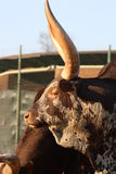 African Ankole Cow. The African Ankole Cow, also know as Watusi Royalty Free Stock Photo