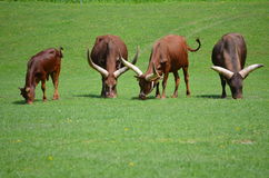 Longhorn / African Ankole Watusi Cattle Royalty Free Stock Photography