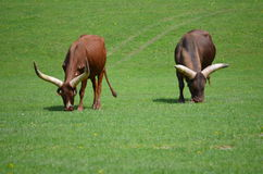 Longhorn / African Ankole Watusi Cattle Royalty Free Stock Images