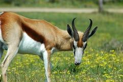 African antelope Stock Image