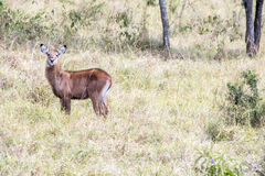 Antelope baby - Reedbuck Royalty Free Stock Photos