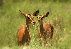 African Antelope Bambi. South Africa Safari Couple of young antelopes stock photo