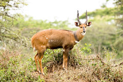 African antelope - Bushbuck Stock Photos