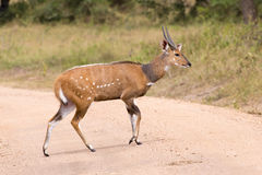 African antelope - bush buck Royalty Free Stock Image