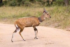 African antelope - bush buck. African antelope - Bushbock crossing a path in Uganda Royalty Free Stock Image