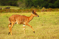 African antelope calf stock photos