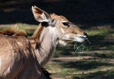 African Antelope Stock Photos