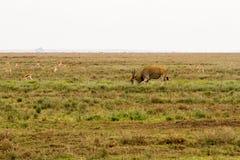 Hartebeest and Thomson`s gazelle in Serengeti. African antelope - the hartebeest Alcelaphus buselaphus, also known as kongoni and Thomson`s gazelle Eudorcas Stock Photography