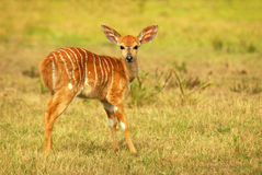African antelope kid (Nyala) royalty free stock images