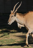 African Antelope Royalty Free Stock Photography
