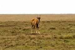 African antelope in Serengeti National Park Royalty Free Stock Photos