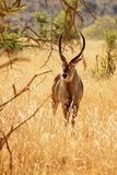 African antelope. Silhouette in Tsavo East National Park, Kenya Royalty Free Stock Images