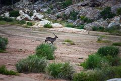 African antelope Waterbuck runs along the dry riverbed. Trophy hunting South Africa for plains game. Safari in RSA Stock Image