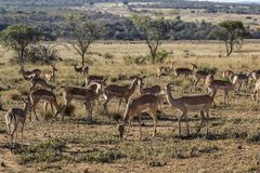 African antelope Stock Images