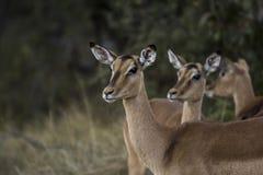 African antelope Stock Photo
