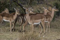 African antelope Stock Photo