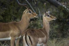 African antelope Royalty Free Stock Photo